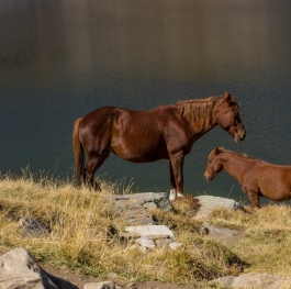 Horses, Rila mountain, Bulgaria
