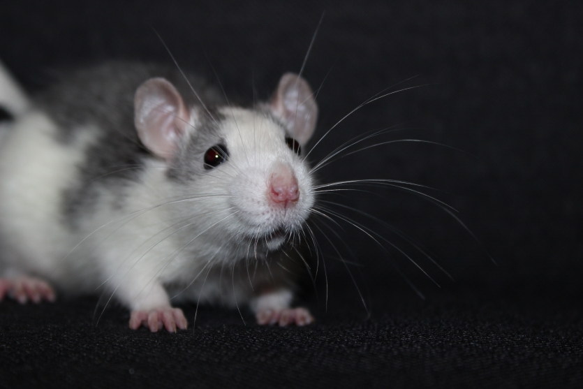Rat and its whiskers