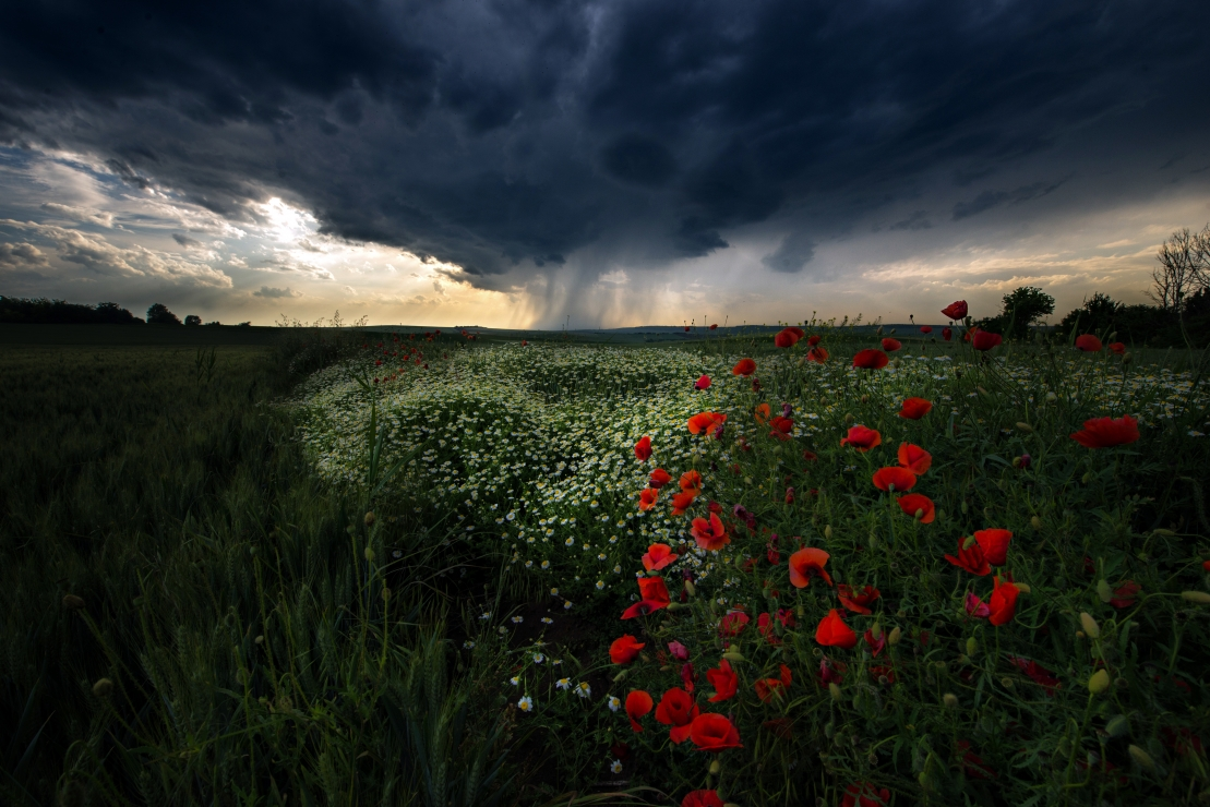 The last minutes of the storm in the poppy field
