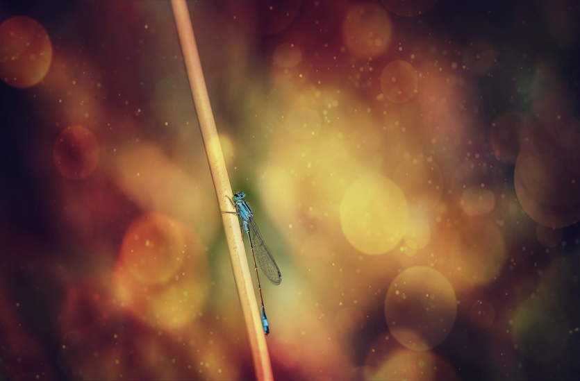 Azure damselfly perching on blade of grass in fire space