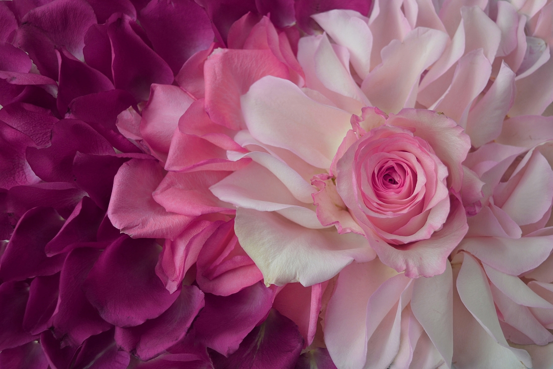 My pink world of roses