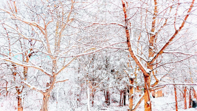 Bold trees in winter