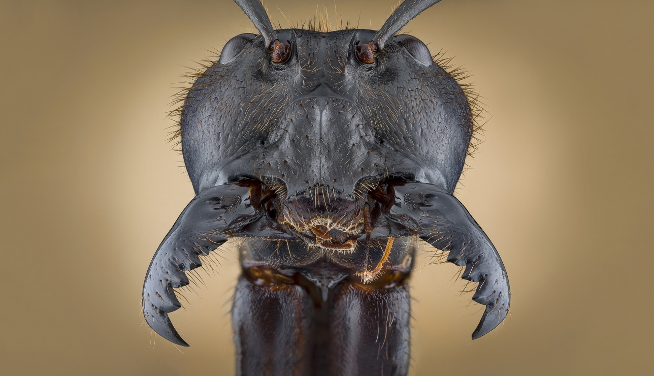 Face of Soldier Ant